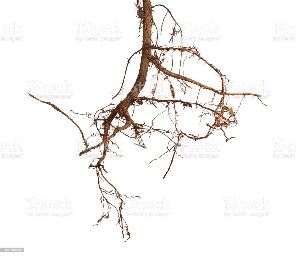 Tree roots on white background stock photo
