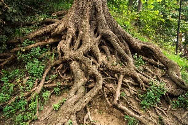 boomwortels - wortel plantdeel stockfoto's en -beelden