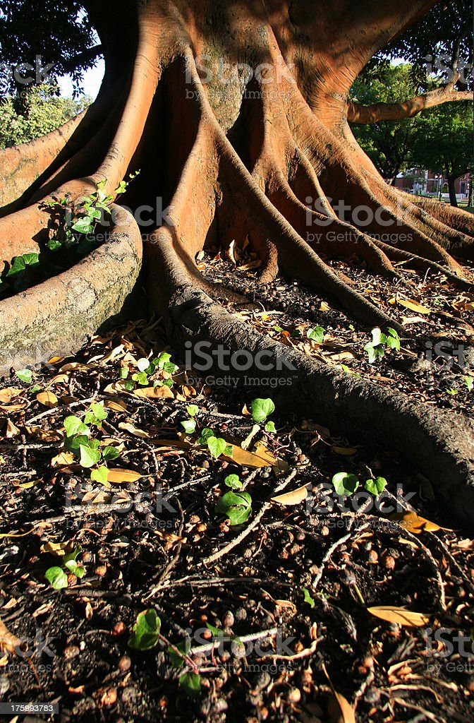Giant roots on a Moreton Bay Fig Tree.