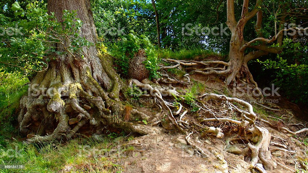 image of old tree roots that have had the soil washed away by water...