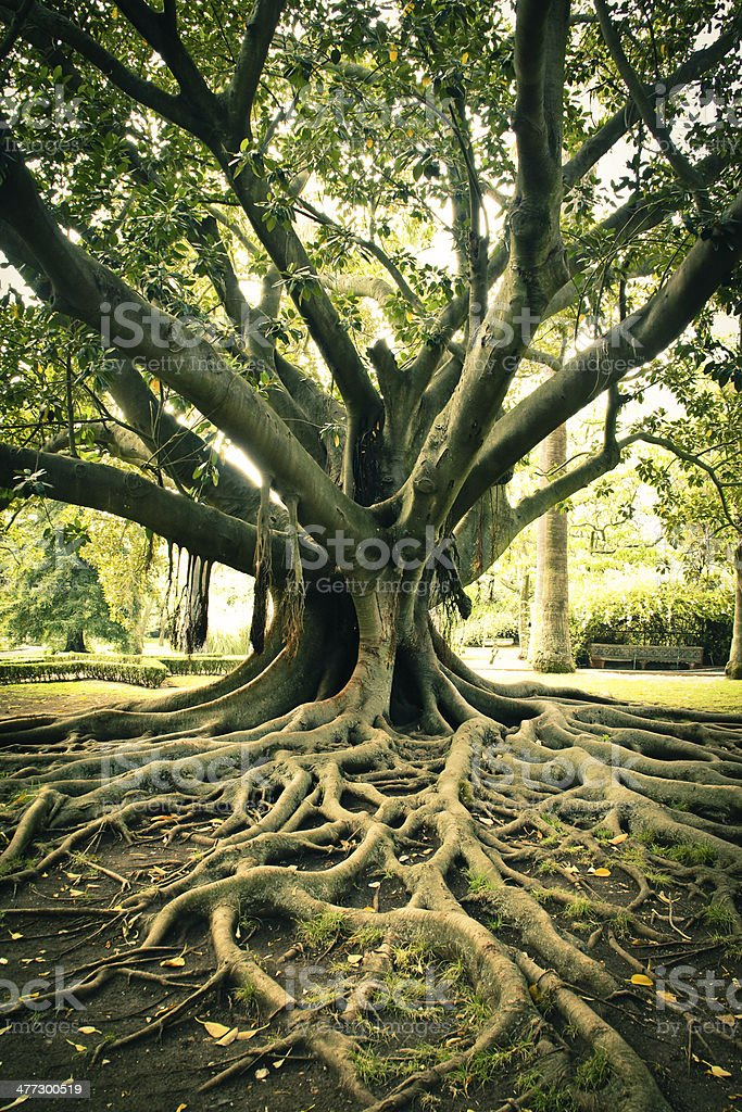 Tree roots. stock photo