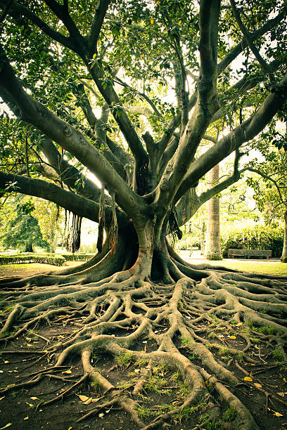 tree roots. - root stock photos and pictures