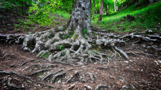 tree roots - root stock photos and pictures