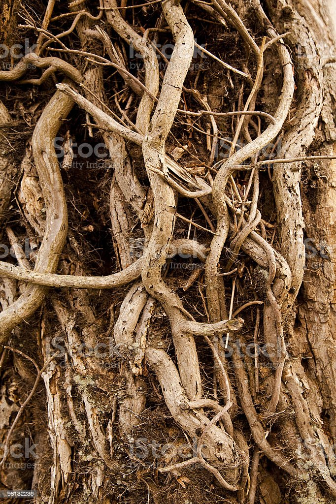 Tree Roots royalty-free stock photo