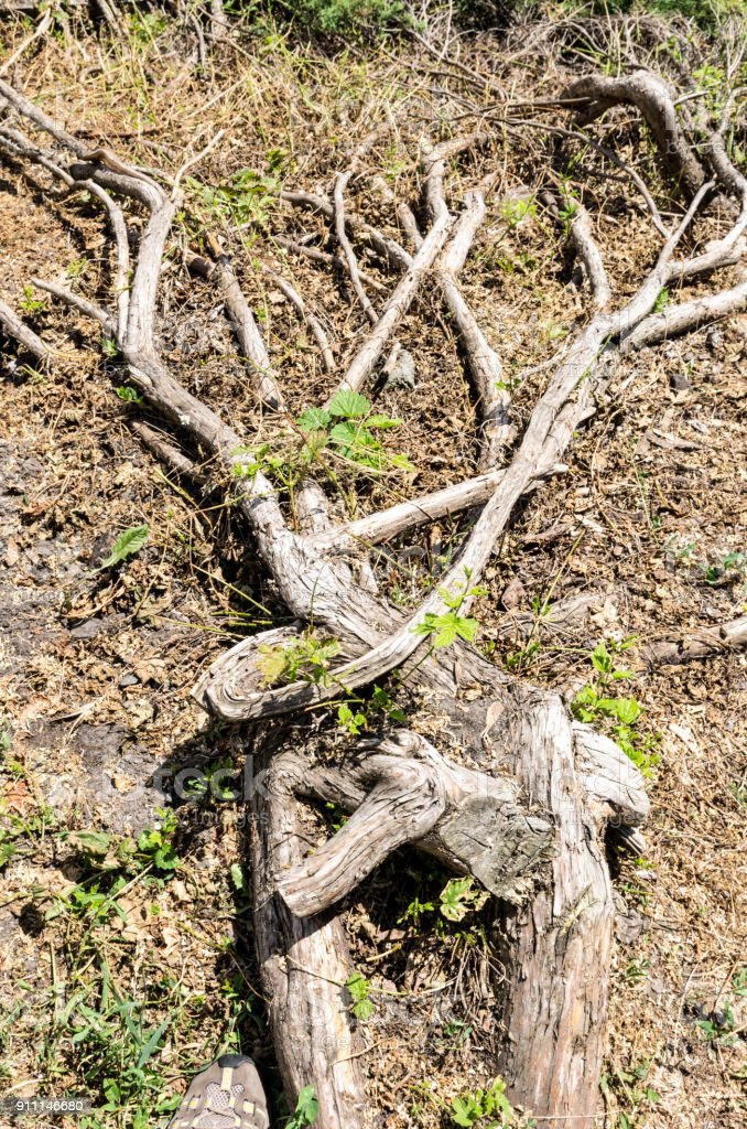 Tree roots. There are many root regions. The veins of a tree. stock photo