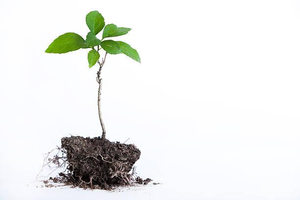 tree seedling - 幼苗 個照片及圖片檔