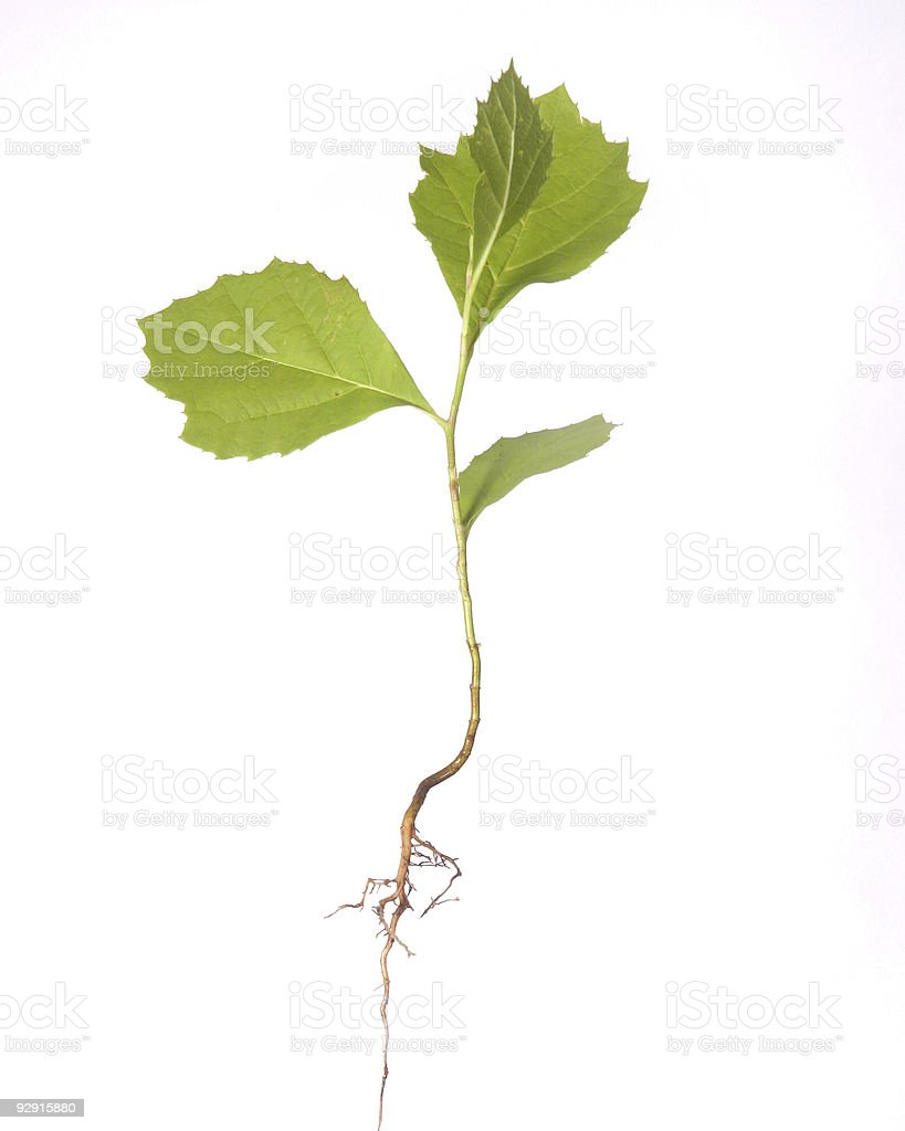 Tree seedling with root stock photo