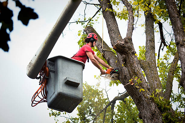 tree service arborist expert working, pruning, cutting diseased high branches - tree surgeon stock photos and pictures