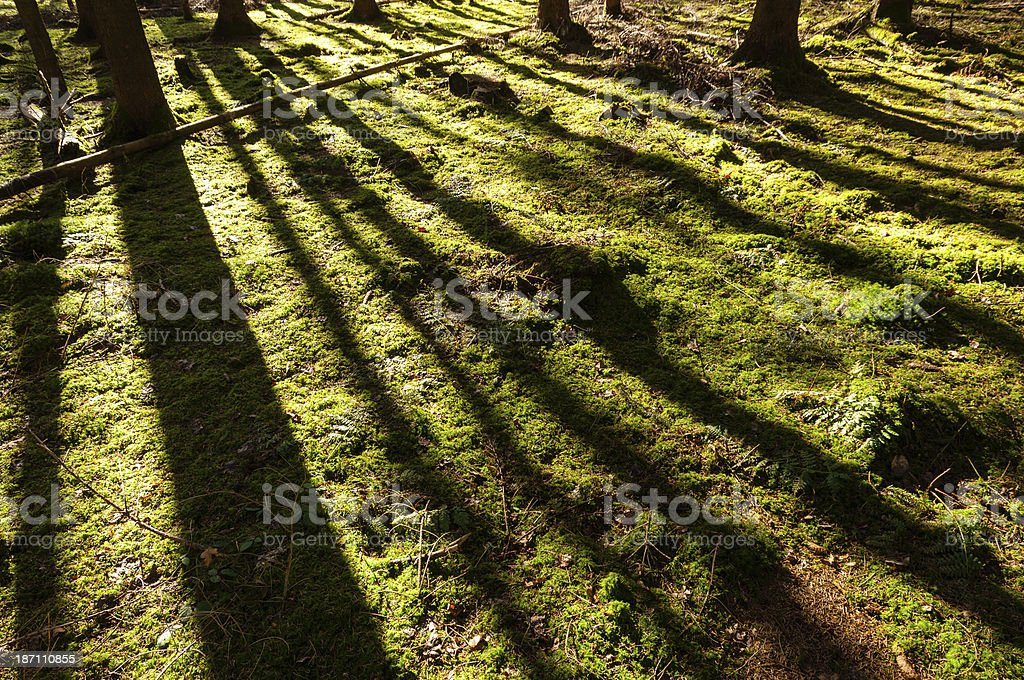 Tree shadows on mossy ground in the spruce forest royalty-free stock photo