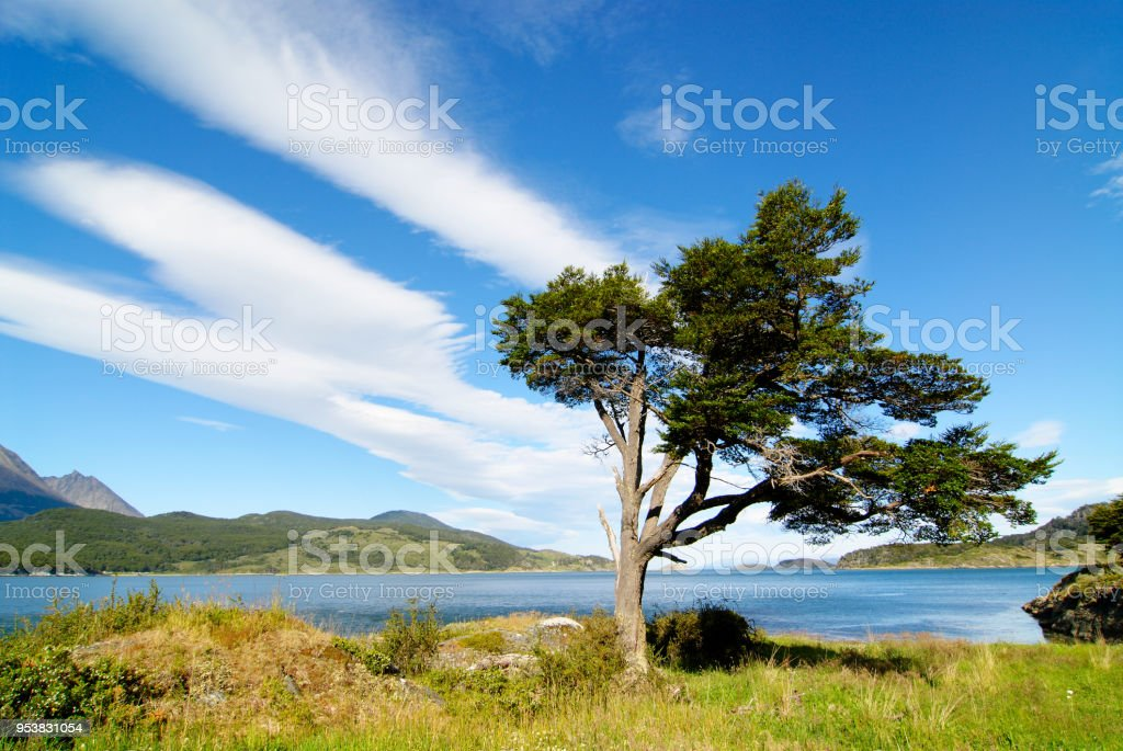 tree shaped by the wind in patagonia stock photo