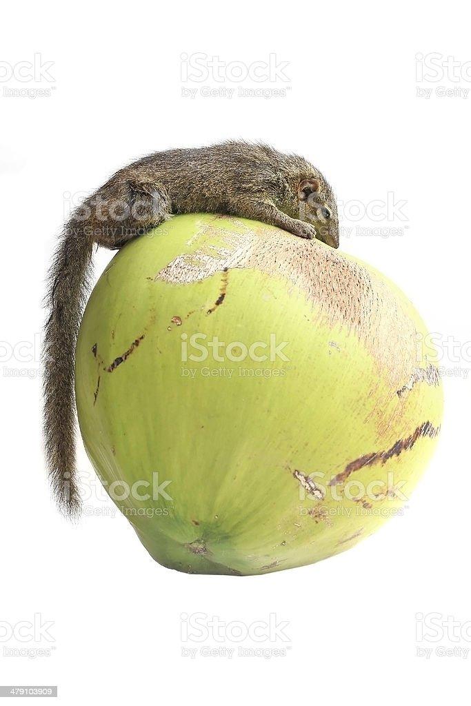 Tree Shrew stock photo