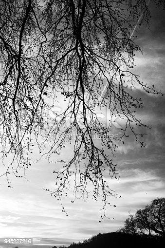 istock Tree silhouette - black and white 945227216