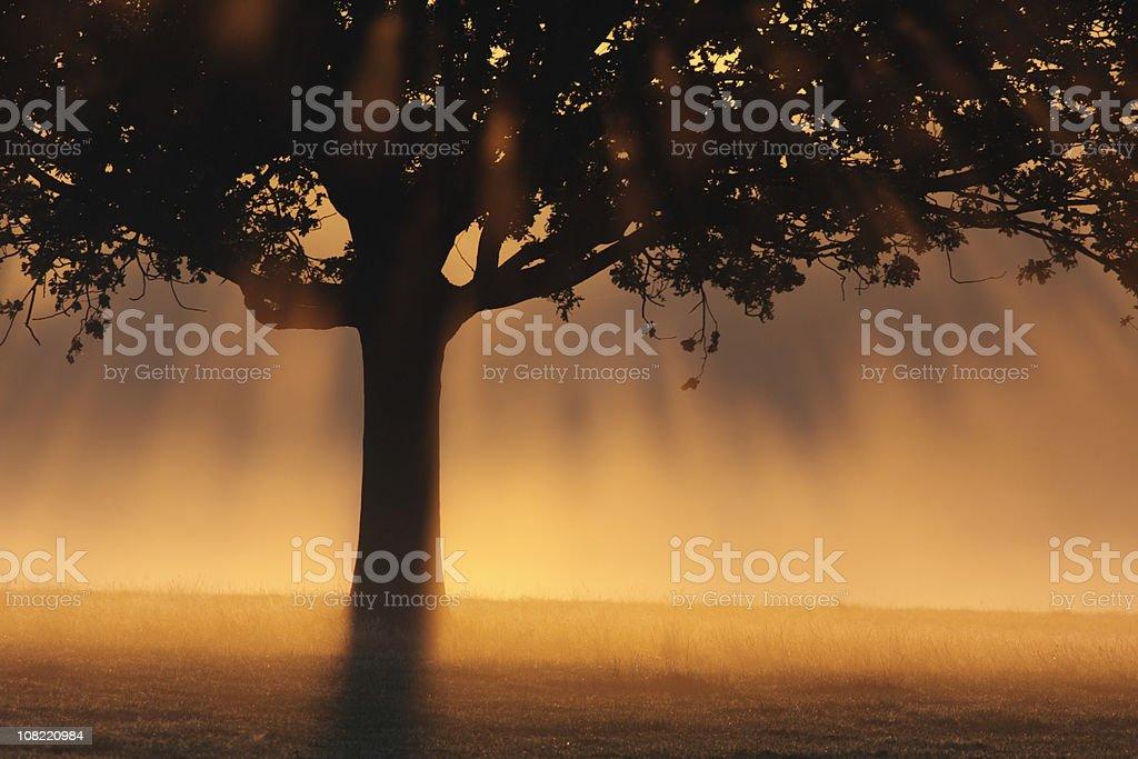 Tree silhouette with misty magical sun rays peachy orange dawn royalty-free stock photo