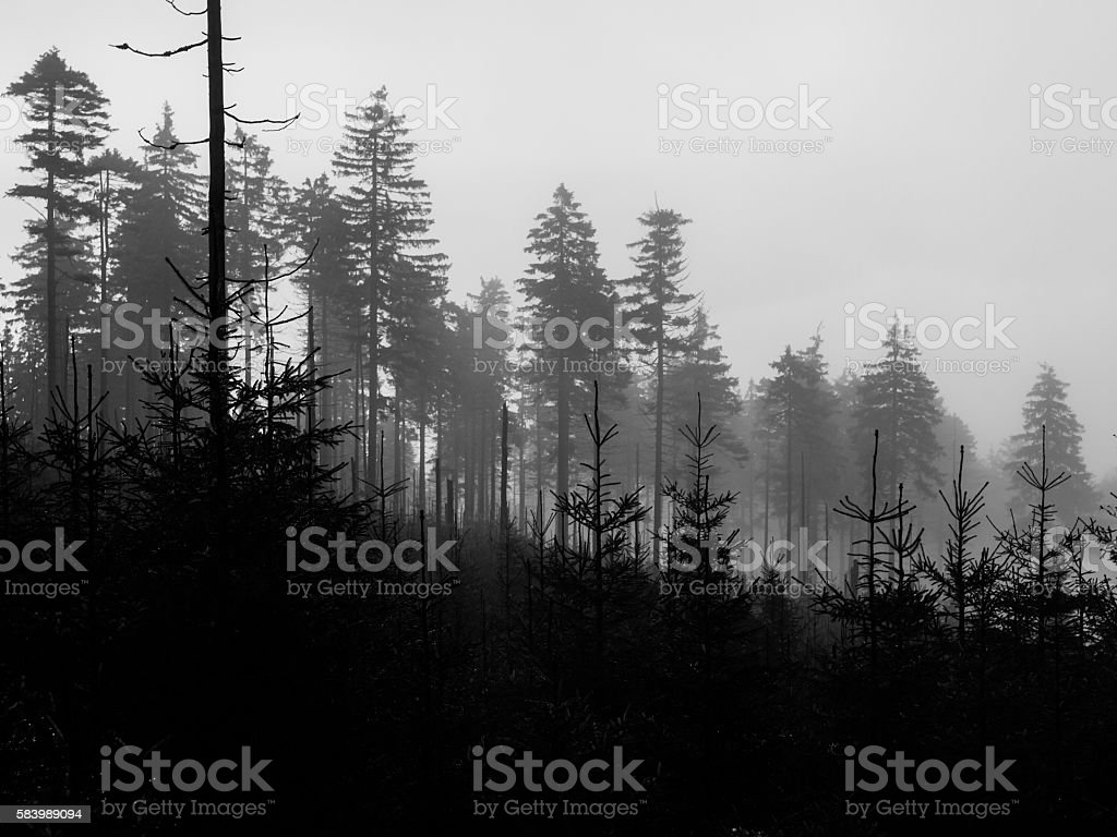 Tree silhouettes on foggy day stock photo