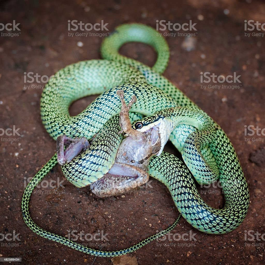 Tree snake eating a frog stock photo