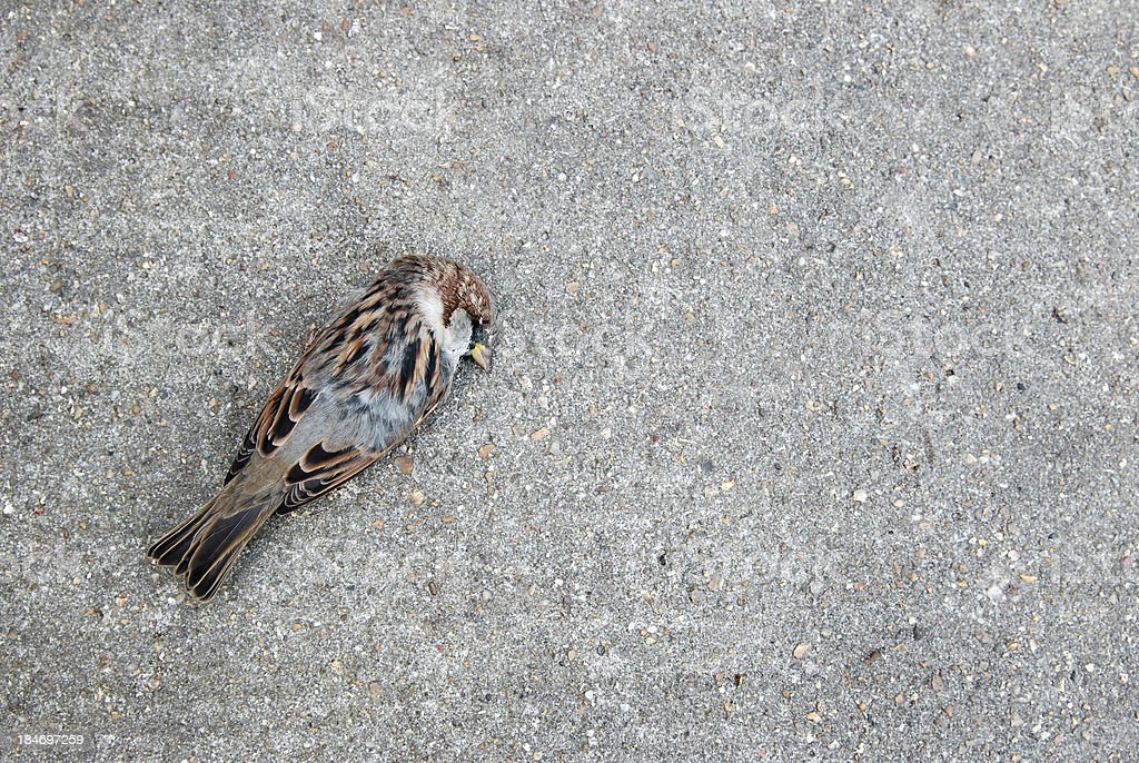 Tree sparrow lying dead on a concrete path stock photo