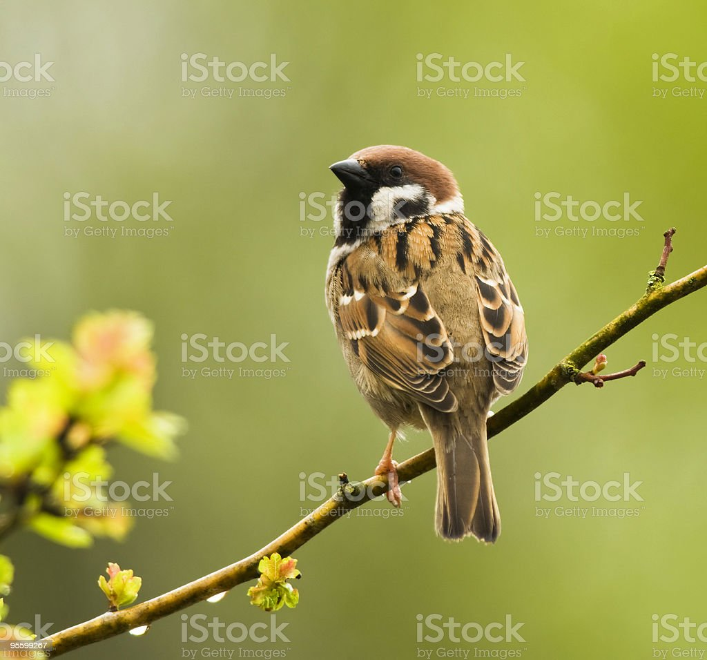 Tree Sparrow on a rainy spring day stock photo