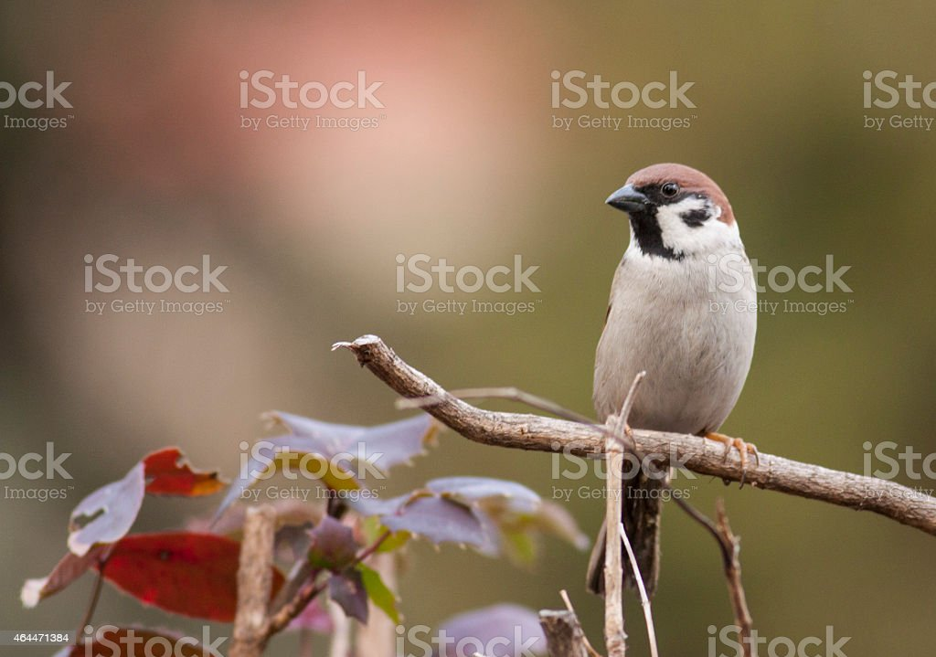 Tree Sparrow on bush stock photo