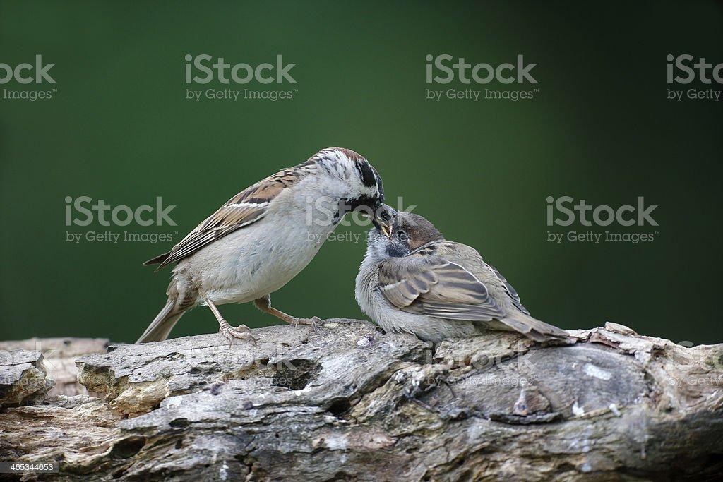 Tree sparrow, Passer montanus stock photo