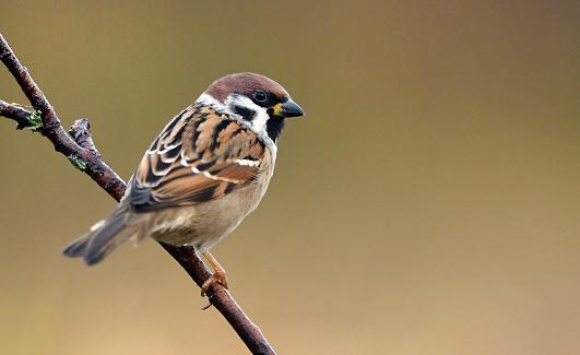 Tree sparrow (Passer montanus)