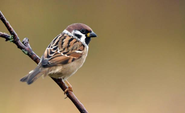 ringmus - ornithologie stockfoto's en -beelden