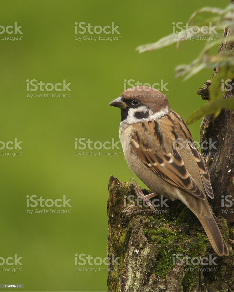 Tree Sparrow (Passer montanus) stock photo