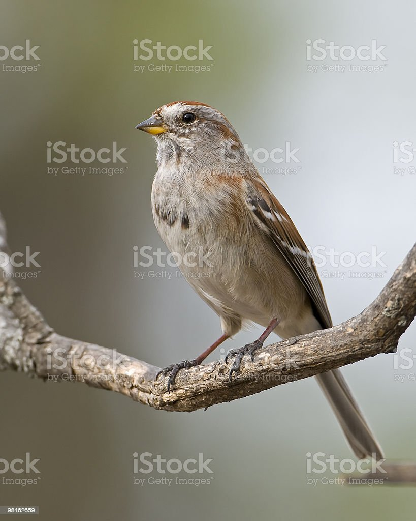 Tree Sparrow royalty-free stock photo