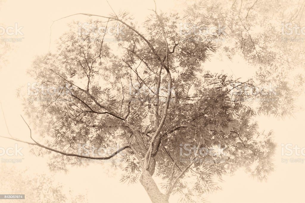 \'Antique plate\' effect of a tree standing overhead against the sky