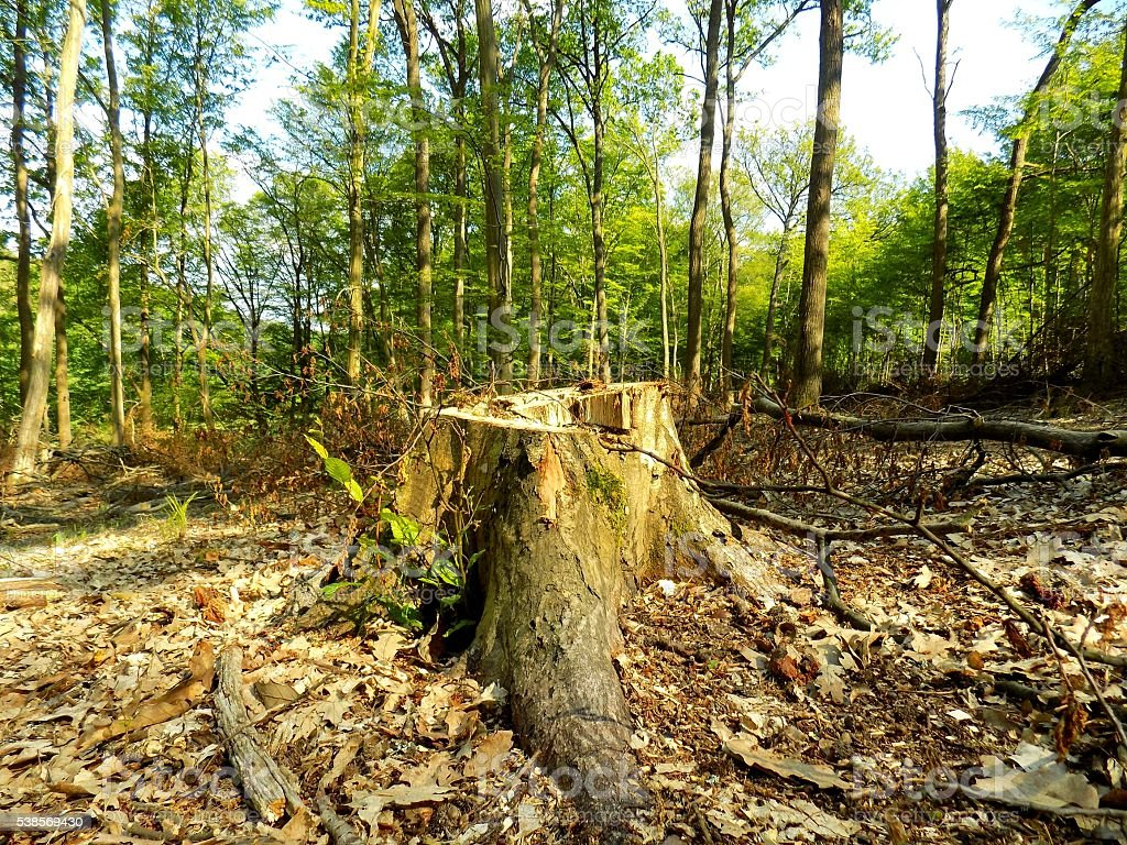 Tree stump after wood exploitation in deciduous forest stock photo