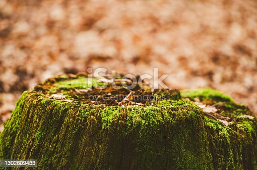 istock Tree stump covered with moss 1302609433