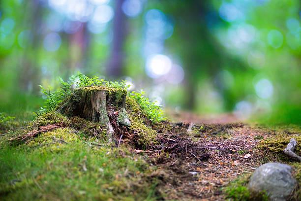 Baumstumpf im skandinavischen forest – Foto