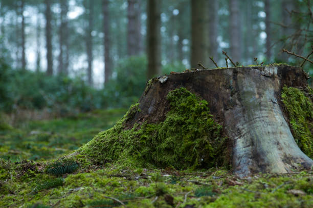 Tree stump on mossy forest floor stock photo