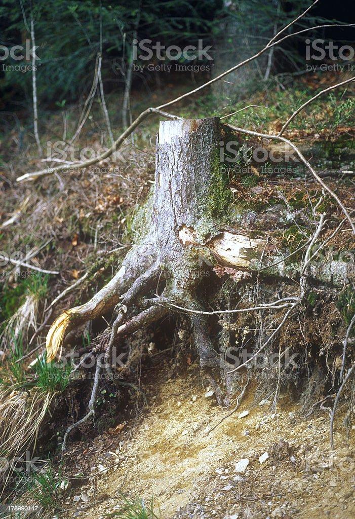 Tree stump. royalty-free stock photo