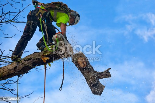 A tree surgeon fells a diseased Chestnut tree by the technique known as sectional dismantling where the tree is felled one piece at a time, as is shown here with a cut bough section being dropped to the ground. This felling technique involves using ropes and spikes for the surgeon to climb the tree, then if needed, the use of ropes to lower the branches to the ground, or for small sections of tree trunk, safely dropped to the ground, as here. This technique is ideal for trees that are dead, dangerous, storm damaged, overhanging buildings & property or sites which have difficult access and or are growing in a confined space.