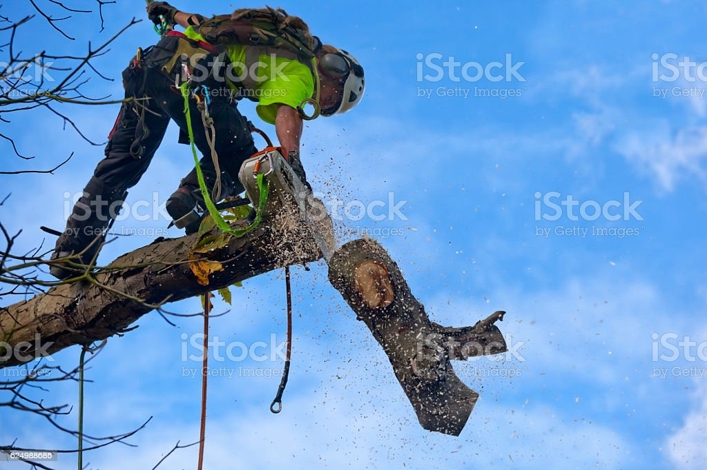 Tree Surgeon Cuts Bough of Diseased Chestnut stock photo