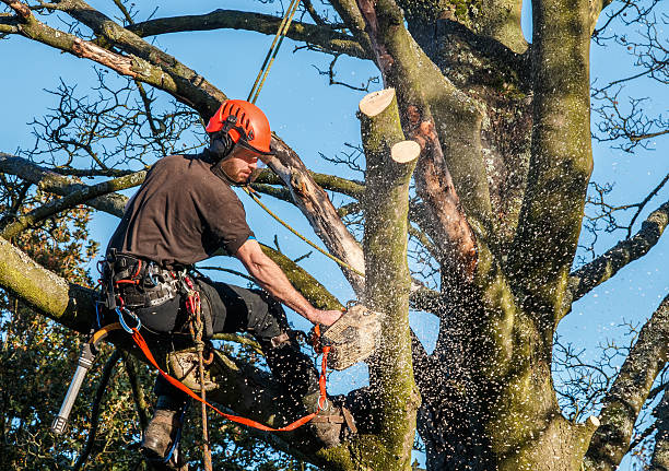 Tree surgeon hanging from ropes in a tree stock photo