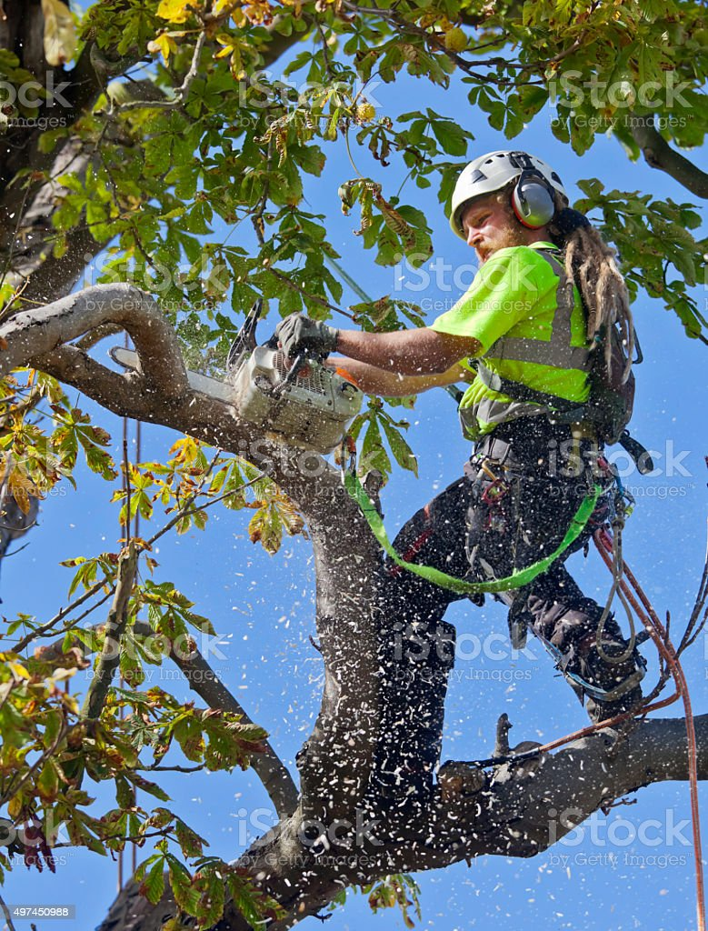 Tree Surgeon Saws a Small Bough of Diseased Chestnut Tree stock photo