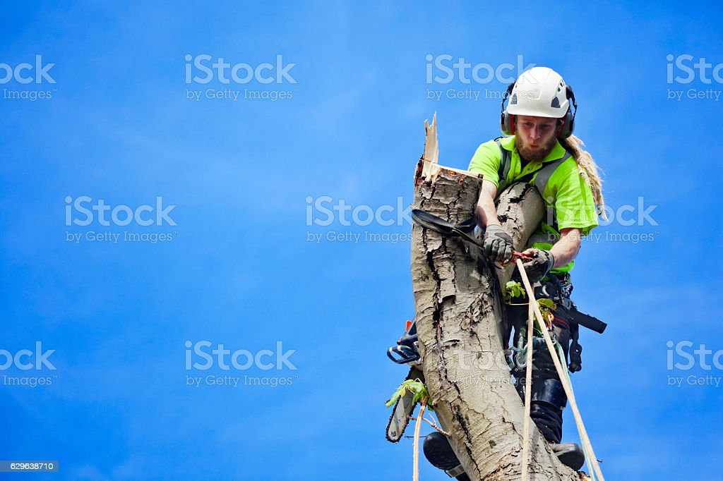 Tree Surgeon Secures Himself Tree Felling stock photo