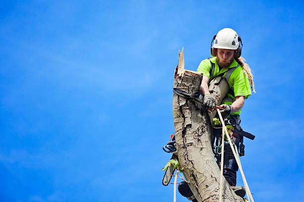 tree surgeon secures himself tree felling - tree surgeon stock photos and pictures