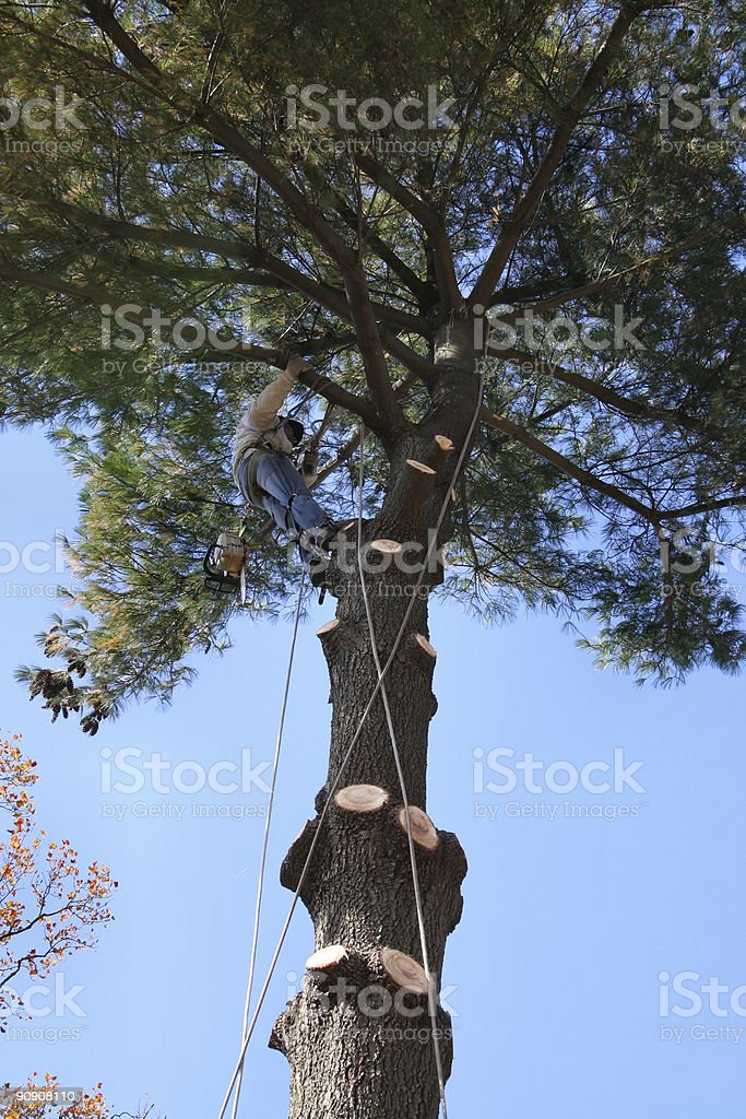 a tree trimmer/removal person high up in a pine tree, removing the...