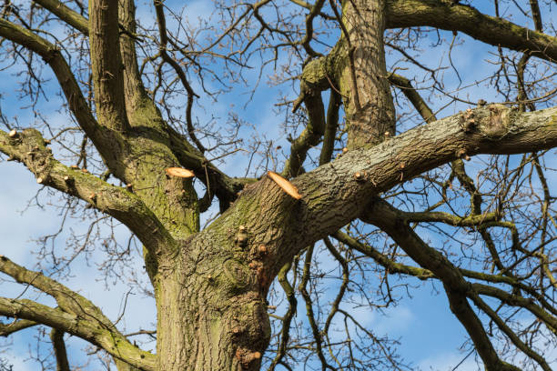 Tree surgery on a large oak stock photo