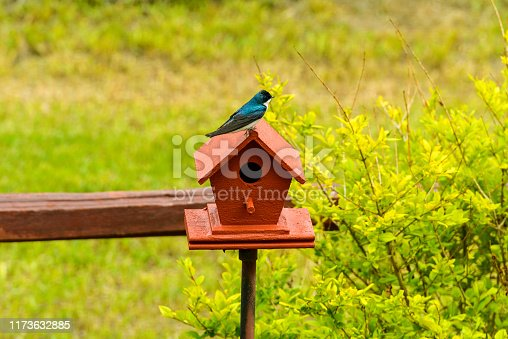 139975532istockphoto Tree Swallow - A cute Tree Swallow standing on top of a red birdhouse under the bright Spring sunlight. 1173632885