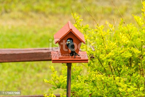 139975532istockphoto Tree Swallow - A Tree Swallow is checking out a brand-new red birdhouse under the bright Spring sunlight. 1173632995