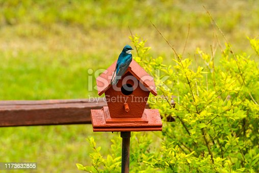 139975532istockphoto Tree Swallow - A Tree Swallow perching on top of a red birdhouse under the bright Spring sunlight. 1173632855