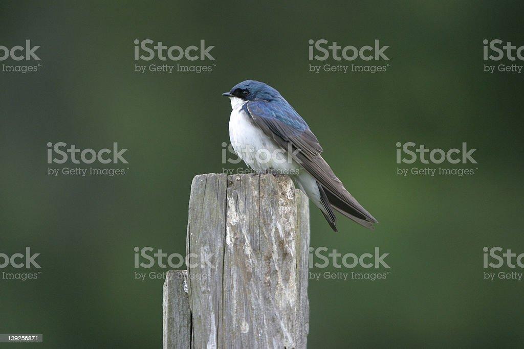 Tree Swallow Bird royalty-free stock photo