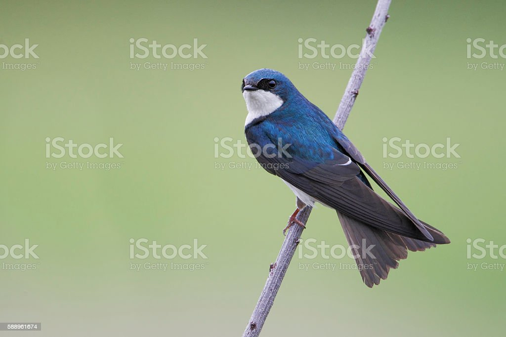 Tree swallow (Tachycineta bicolor), Bombay Hook NWR, Delaware, USA stock photo