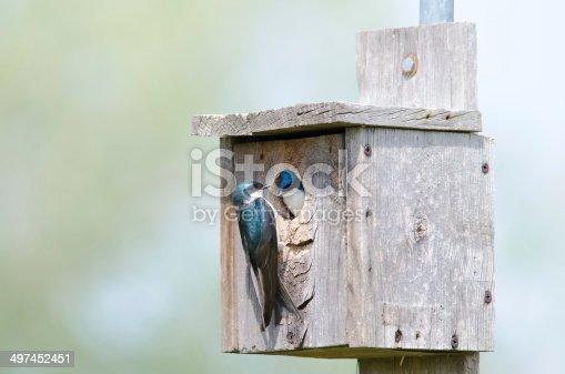 139975532 istock photo Tree swallow couple 497452451