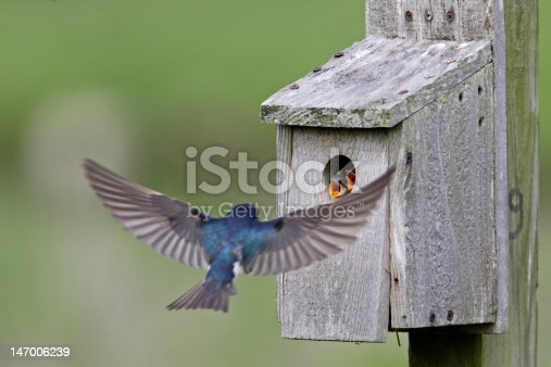 Tree Swallow (Tachycineta bicolor) feeding juveniles