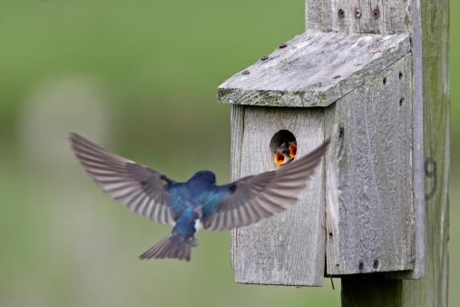 Tree Swallow (Tachycineta bicolor) feeding juveniles