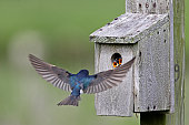 Tree Swallow feeding juveniles